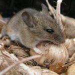 Фото мыши, грызущей чеснок