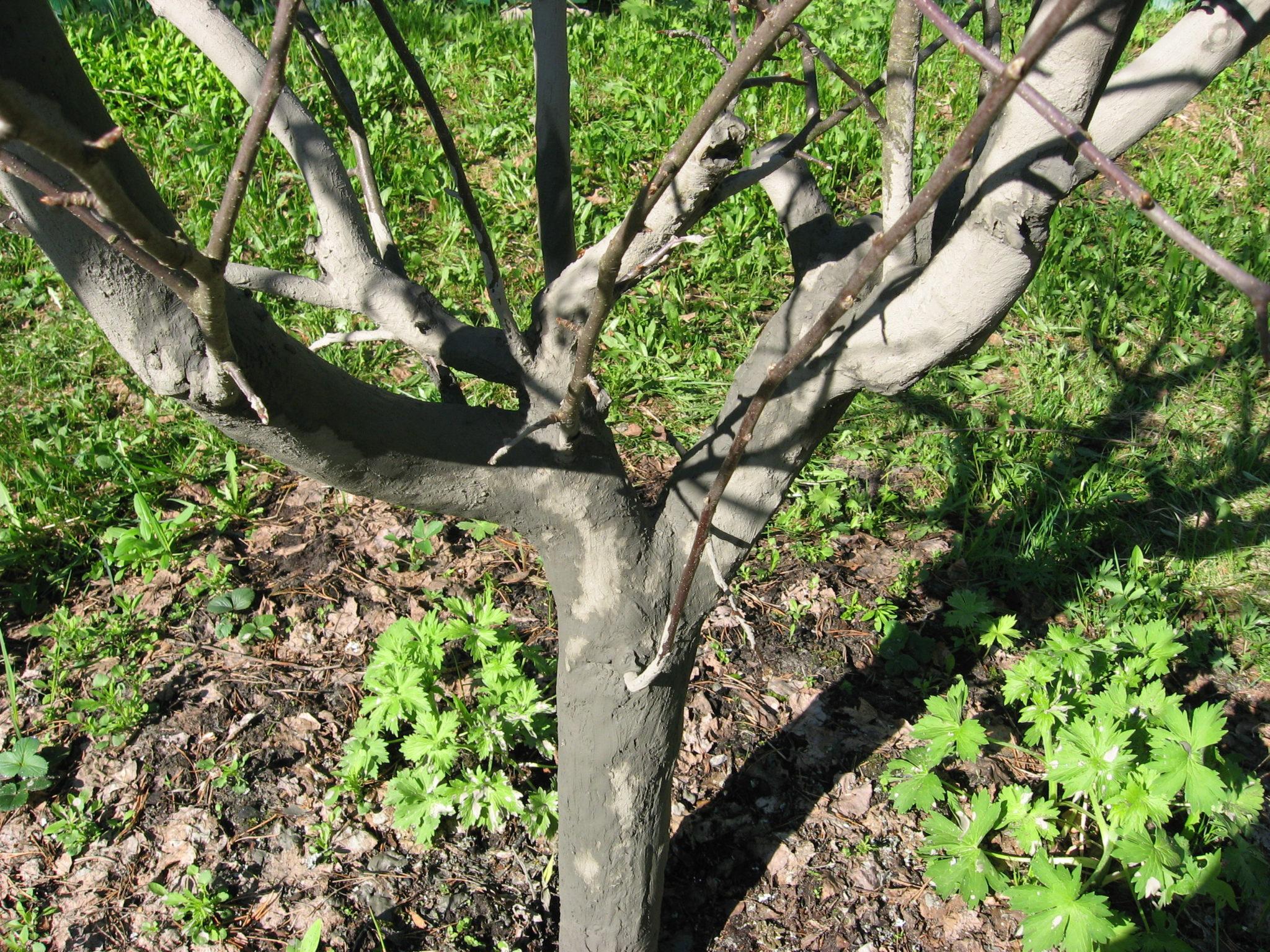 Фото неповрежденного ствола яблони