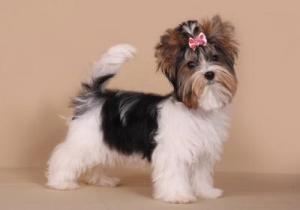 собака бивер внешний вид