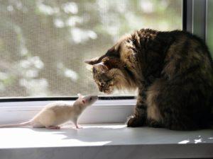 Кошка и крыса на окне