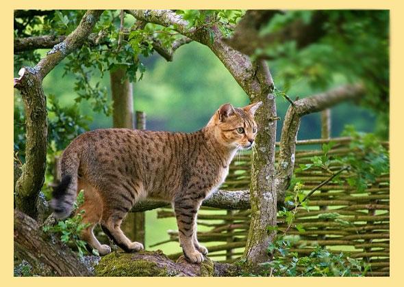 Кошка египетская мау на природе