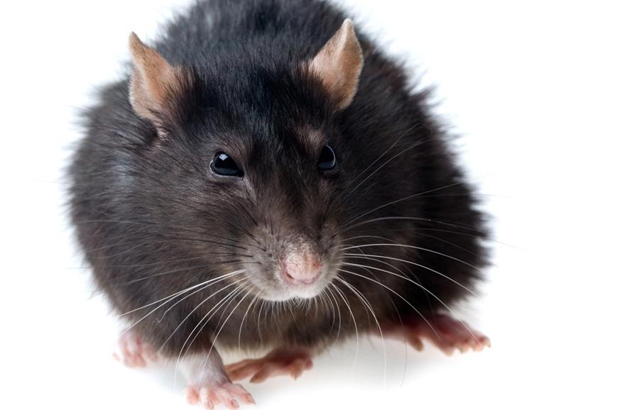 Фото черной крысы