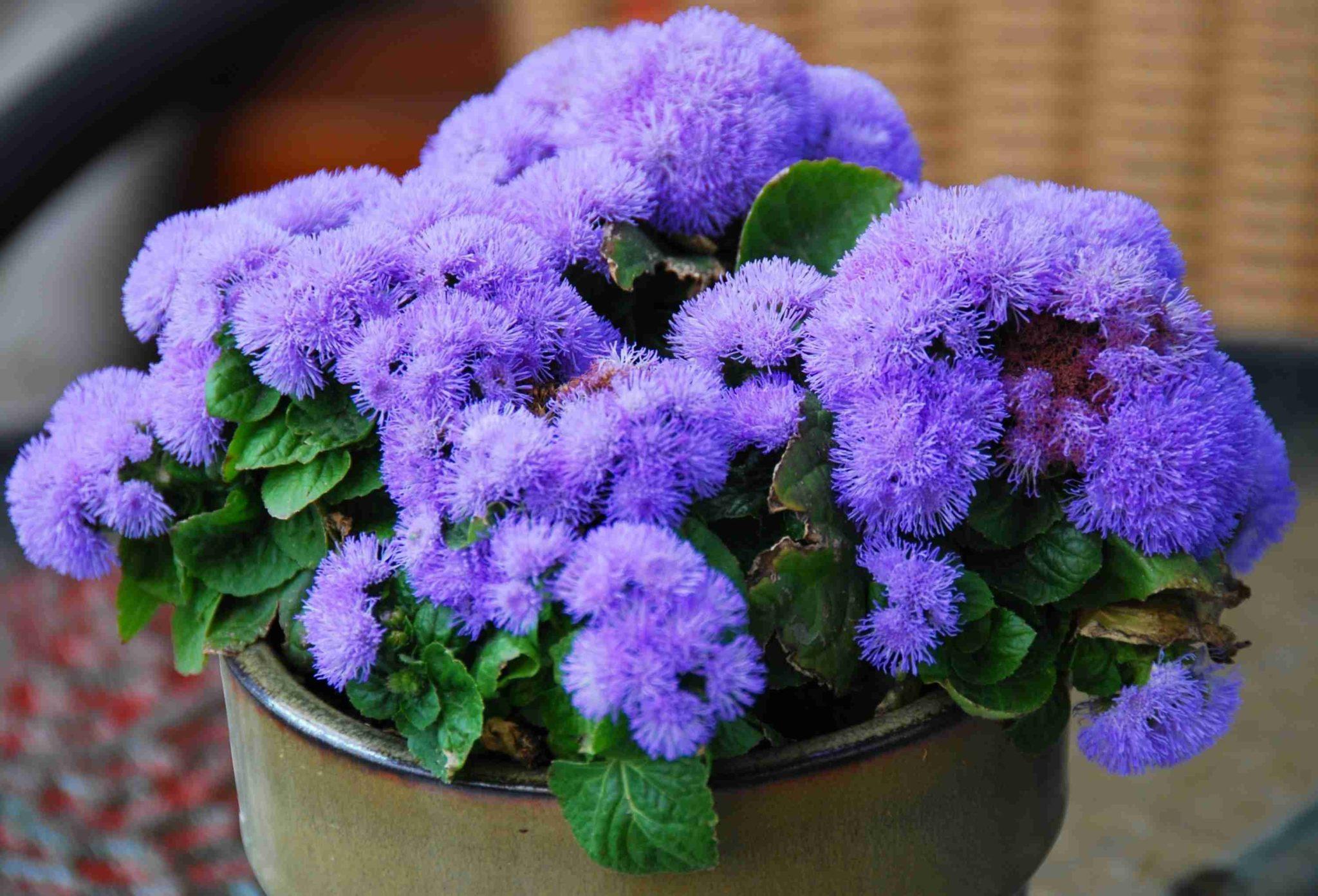 Комнатное растение - агератум для отпугивания насекомых