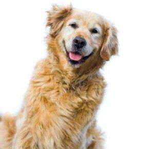 продолжительность течки у собак