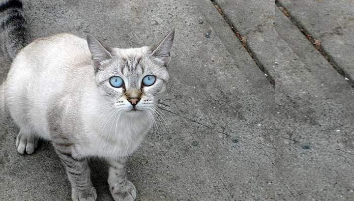 Эти кошки напоминают обычных домашних кошек – гибкое тело небольших размеров