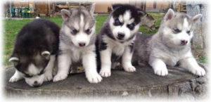 стоимость собак породы хаски