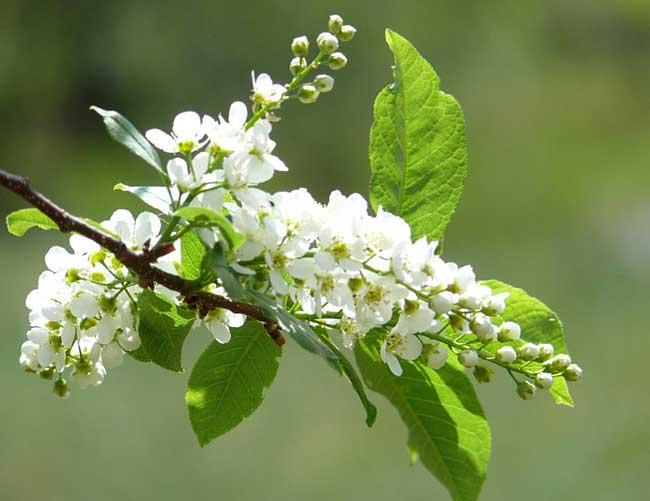 Цветы черемухи против насекомых