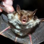 Летучая мышь в руках