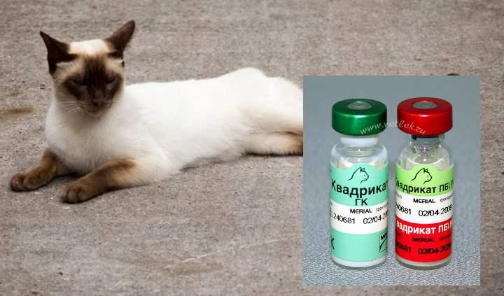 Привитие сиамской кошки
