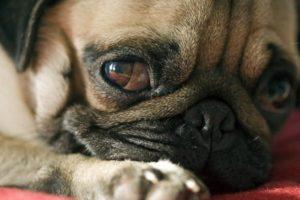 температура при паразитах собаки