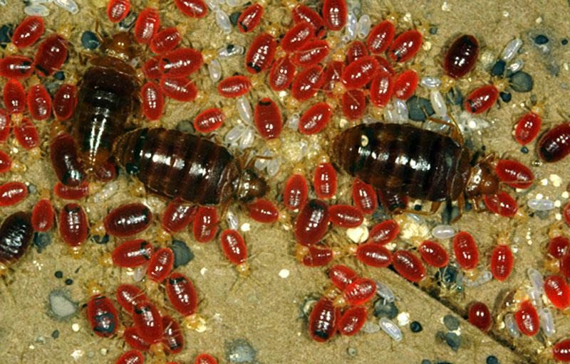 Фото большой колонии клопов в доме