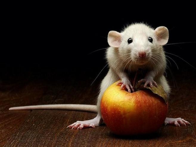 Фото мыши на яблоке