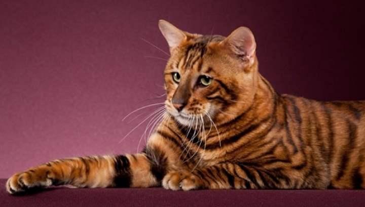 Характер кошки тойгер