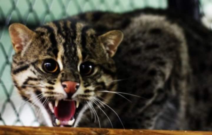Характер кота-рыболова
