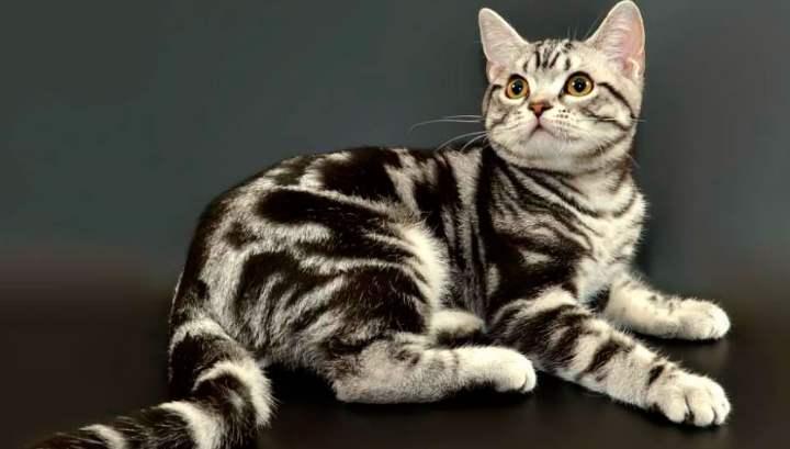 Американская короткошерстная кошка: описание, содержание и уход +Фото и Видео
