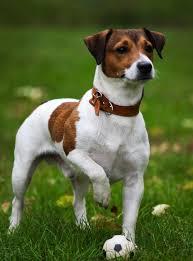 джек-рассел-терьер собака