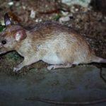 Крыса во дворе дома