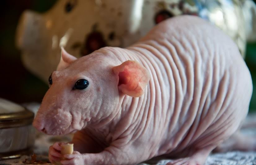 Сфинкс - внешний вид грызуна