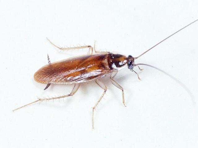 Как выглядит типичный рыжий таракан