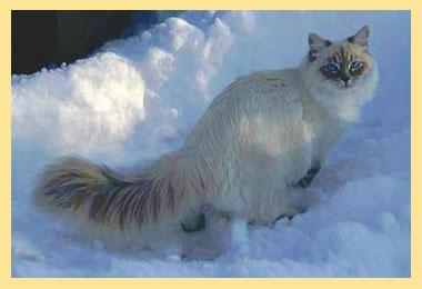 Сибирский котик на снегу