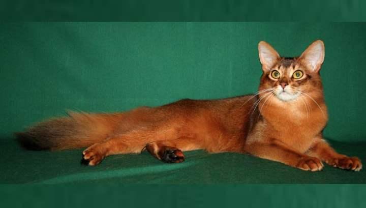 Сомалийская кошка является потомком абиссинской кошки