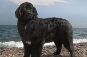 происхождение названия собаки ньюфаундленд