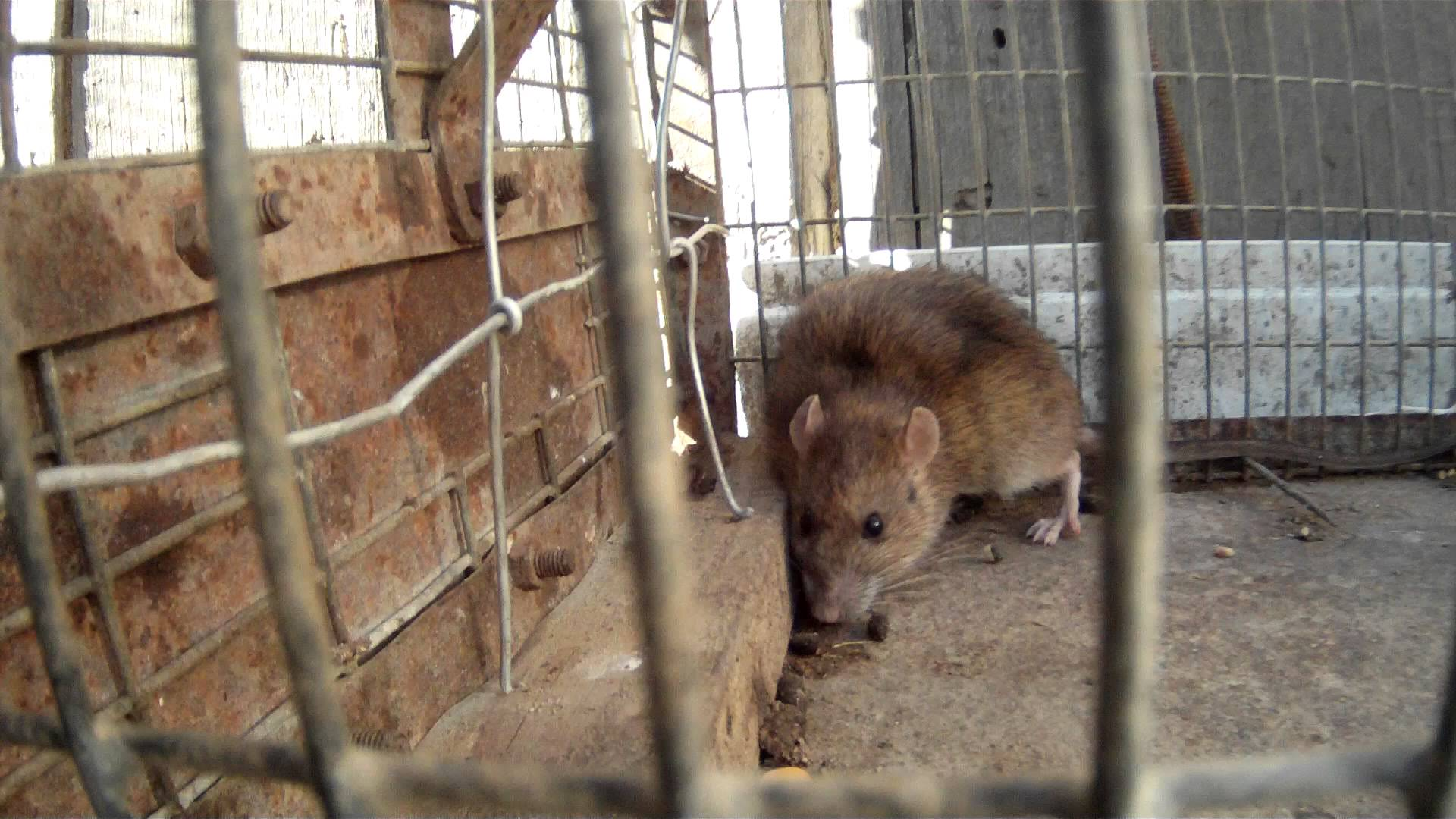 Крысы - вредители урожая