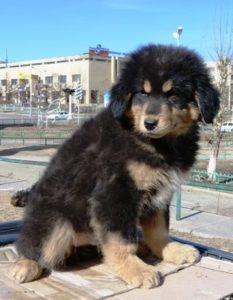 банхар собака
