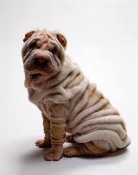 собака шарпей