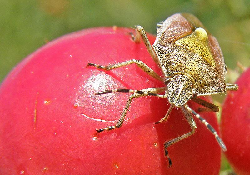 Фото вонючки на помидоре