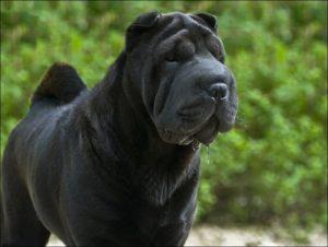 пес шарпей