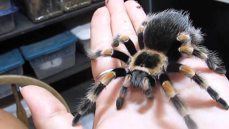 Гигантский и двухцветный паук