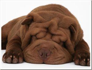 шарпей порода собак