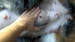 восьмая неделя беременности собаки