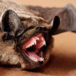 Летучая мышь с открытым ртом