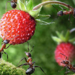 Муравьи в саду и клубника