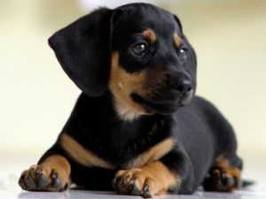 нормальная температура тела у собаки