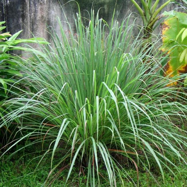 Растущий куст цитронеллы