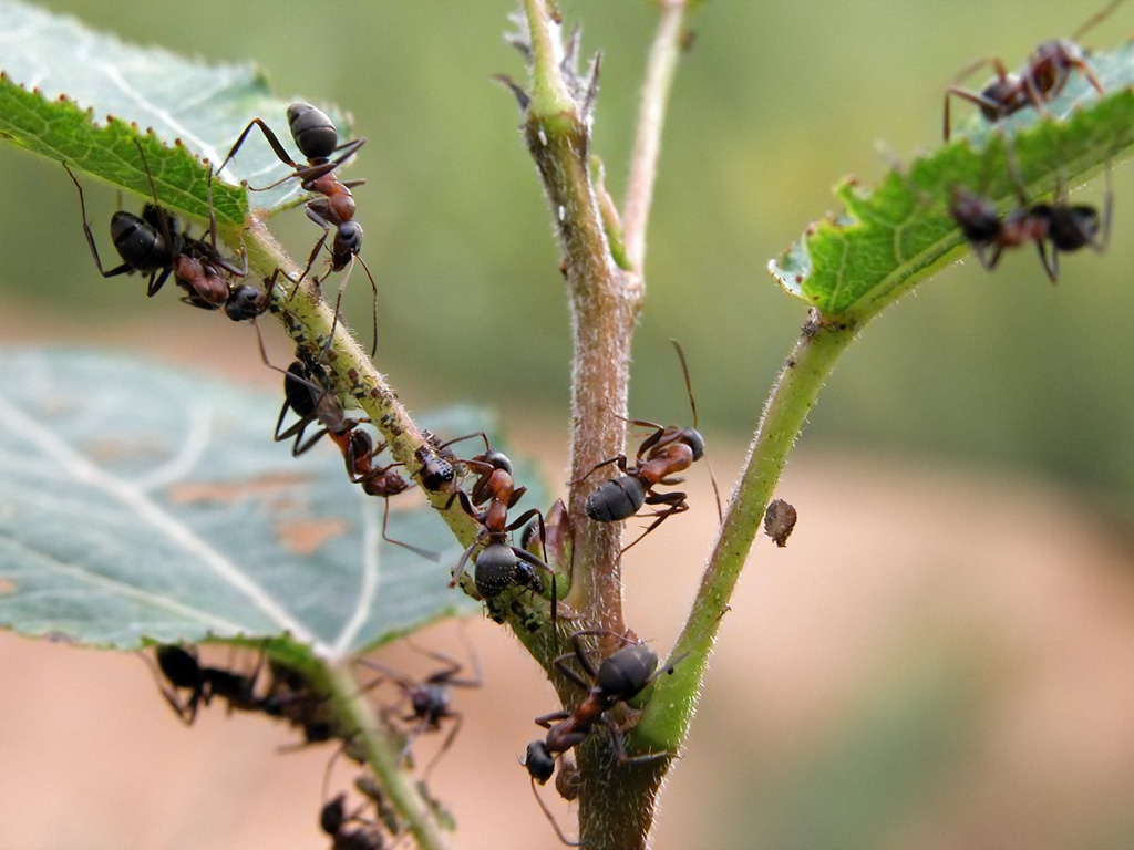 Муравьи на ветках смородины