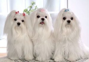 мальтезе собачки