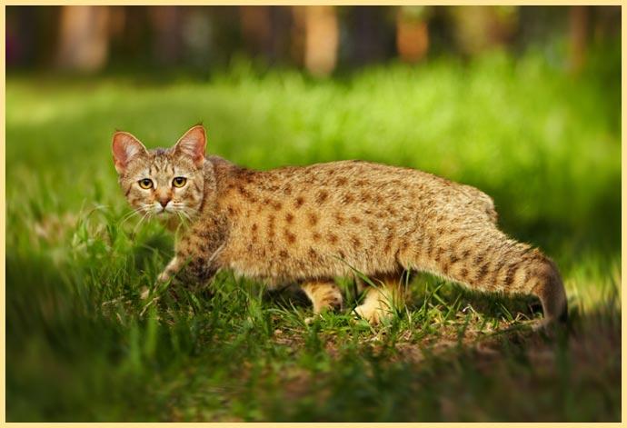 Кот пиксибоб на природе