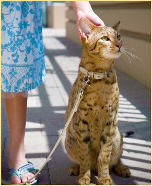 Ашера кошка на поводке