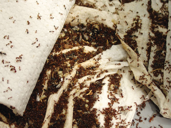 Колония муравьев в доме