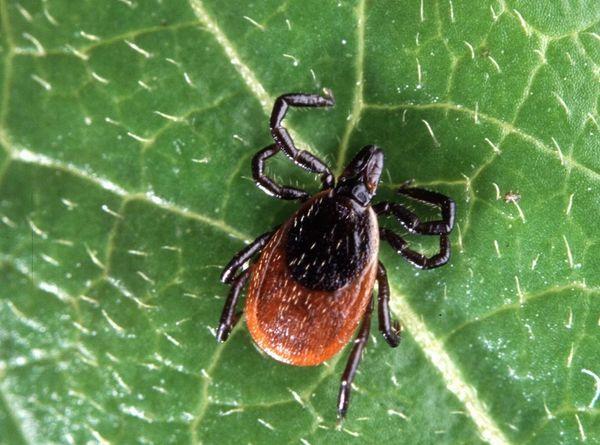 Таежные и лесные клещи чаще переносят энцефалит