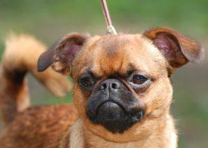описание собаки грифон