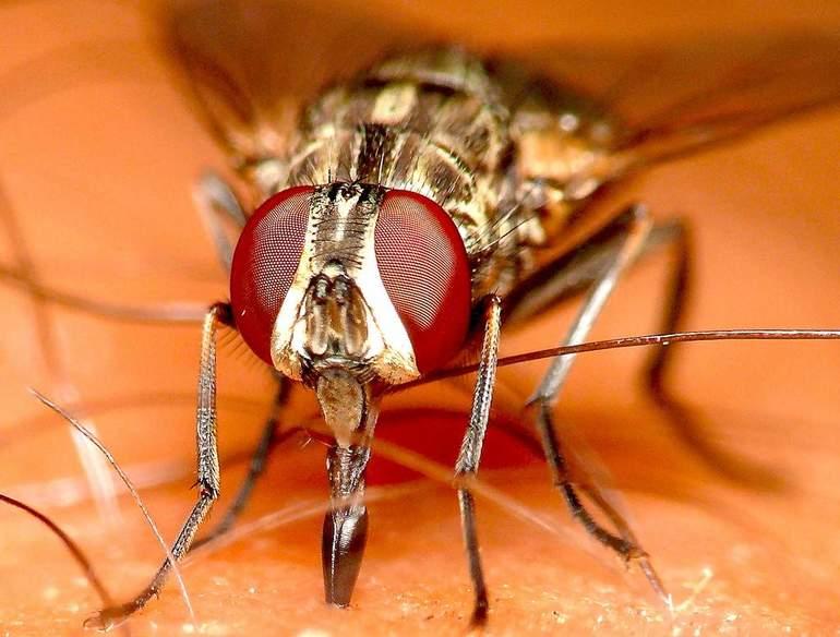 Продолжительность жизни мух, как они питаются и размножаются