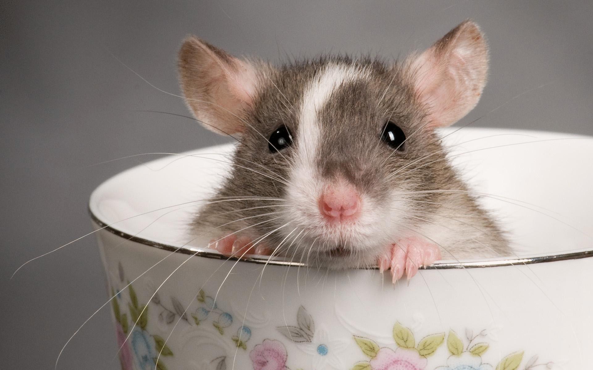 Мышь выглядывает из кастрюли