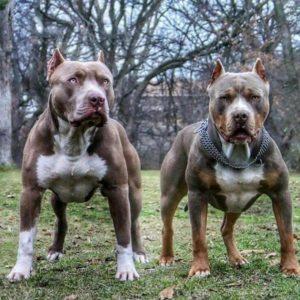 бойцовские собаки и их породы