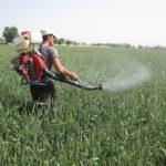 Опрыскивание пшеницы от вредителей
