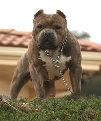 бойцовские собаки разных размеров